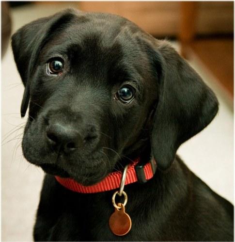 black-labrador-retriever-puppies-black-puppy-956887520